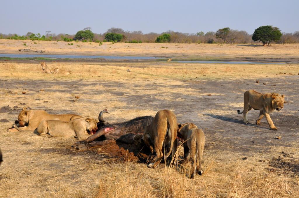 Simbabwe und Victoria Falls mit Wilderness Safaris sonne simbabwe safari land und leute afrika  tui berlin Hwange Nationalpark Loewen essen Gnu