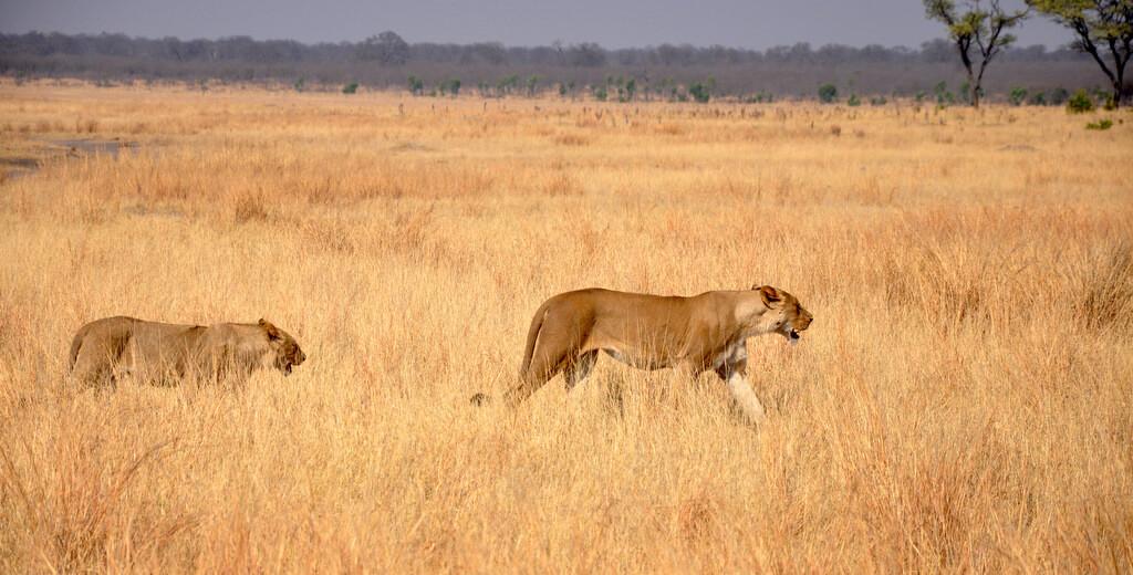 Simbabwe und Victoria Falls mit Wilderness Safaris sonne simbabwe safari land und leute afrika  tui berlin Loewen Hwange Nationalpark