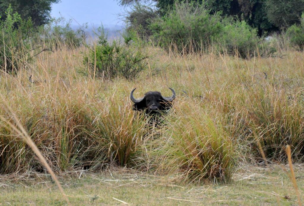 Simbabwe und Victoria Falls mit Wilderness Safaris sonne simbabwe safari land und leute afrika  tui berlin Mana Pools Nationalpark Bueffel