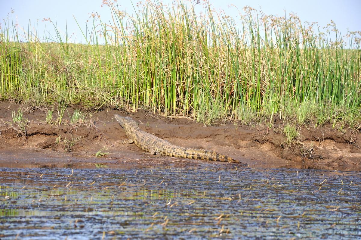 Zwischen Sambia und Simbabwe   mit dem Kanu unterwegs auf dem Sambesi sonne simbabwe safari reisebericht afrika  TUI Berlin Reisebüro Paddeltour Sambesi Krokodil am Ufer