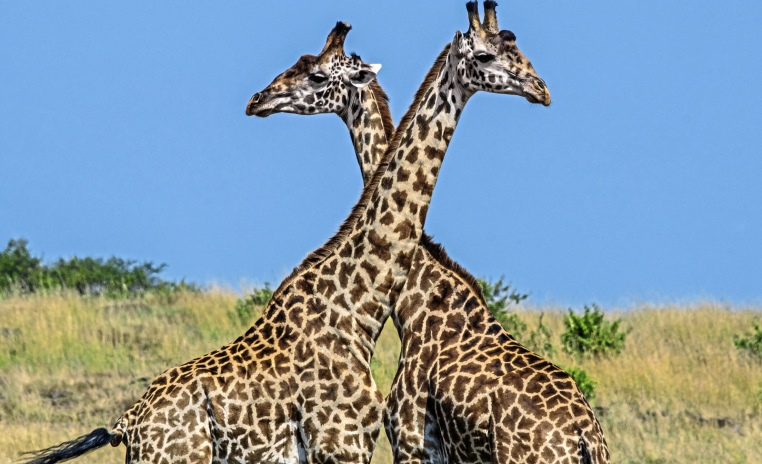 Was Sie noch nicht über Afrika wussten.... tui hotels tansania suedafrika strand simbabwe namibia kenia italien expertentipps botswana  tui berlin massai mara giraffen