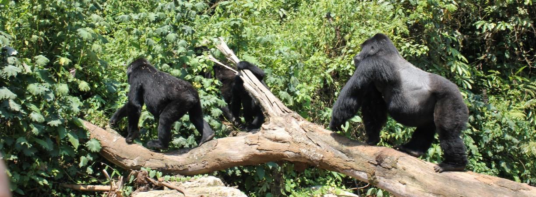 TUI, Reisebüro, Berlin, Sonderreise, Jörg Kästner, Uganda, Berggorillas, Schimpansen, Trekking, Afrika, Lodge, Safari, exklusiv, Bwindi