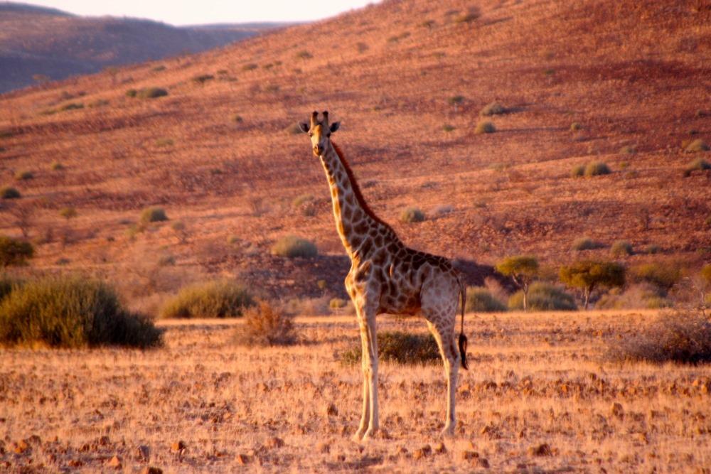 Namibia Treasures. sonne safari namibia afrika  tui berlin namibia damaraland camp giraffe
