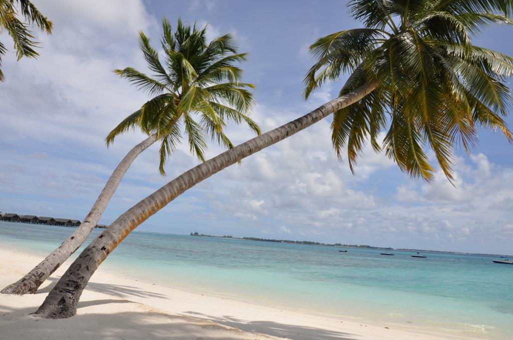 Shangri La Villingili   von Puderzuckerstrand und anderen Nebensächlichkeiten strand sonne malediven indischer ozean orient honeymoon 2  tui berlin Malediven Shangri La Villingili Palme