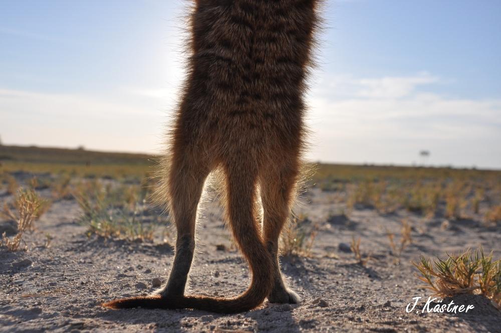Botswana Treasures. sonne safari botswana afrika  tui berlin Botswana Jacks Camp Kalahari Erdmaennchen Beine