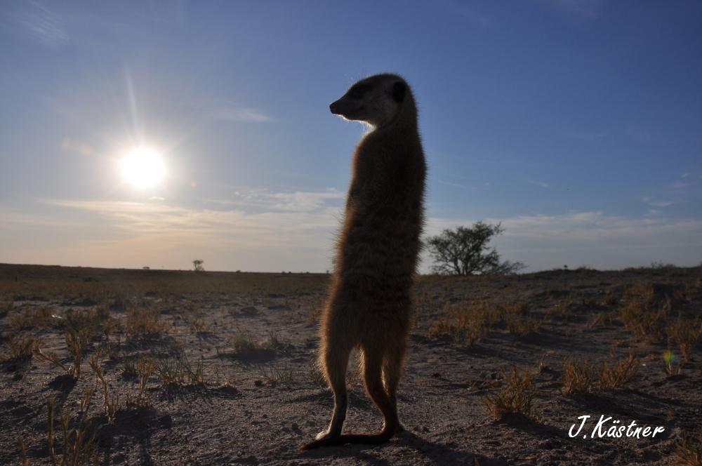 Botswana Treasures. sonne safari botswana afrika  tui berlin Botswana Jacks Camp Kalahari Ermaennchen schaut