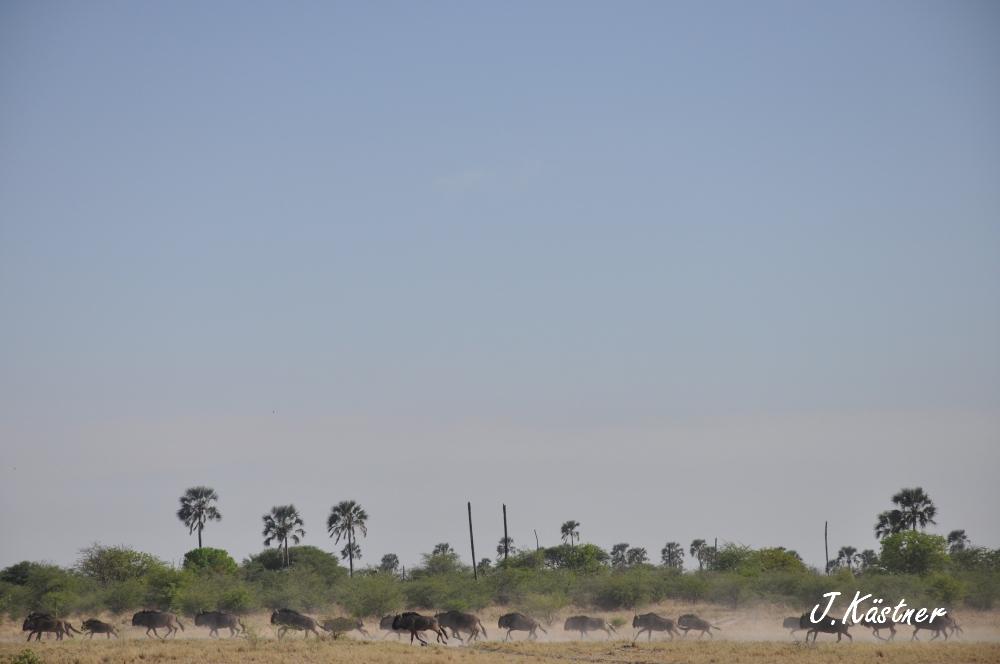 Botswana Treasures. sonne safari botswana afrika  tui berlin Botswana Jacks Camp Kalahari Gnus