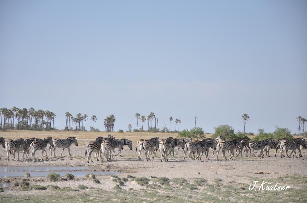 Botswana Treasures. sonne safari botswana afrika  tui berlin Botswana Jacks Camp Kalahari Zebras