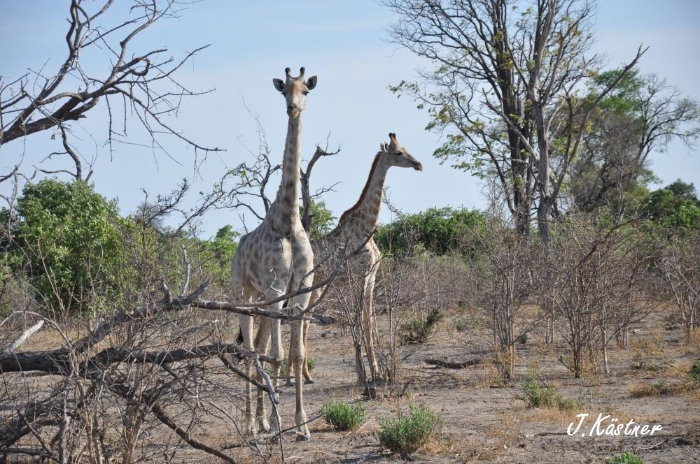 Botswana Treasures. sonne safari botswana afrika  tui berlin Botswana Linyanti Duma Tau Camp Giraffen