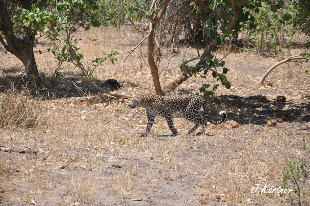 Botswana Treasures. sonne safari botswana afrika  tui berlin Botswana Linyanti Duma Tau Camp Leopard