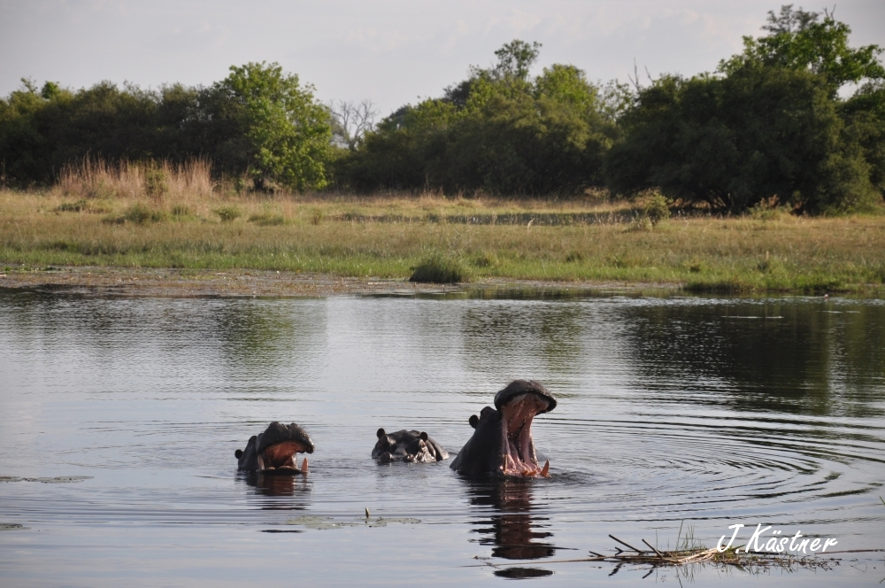 Botswana Treasures. sonne safari botswana afrika  tui berlin Botswana Linyanti Duma Tau Camp Linyanti Hippos
