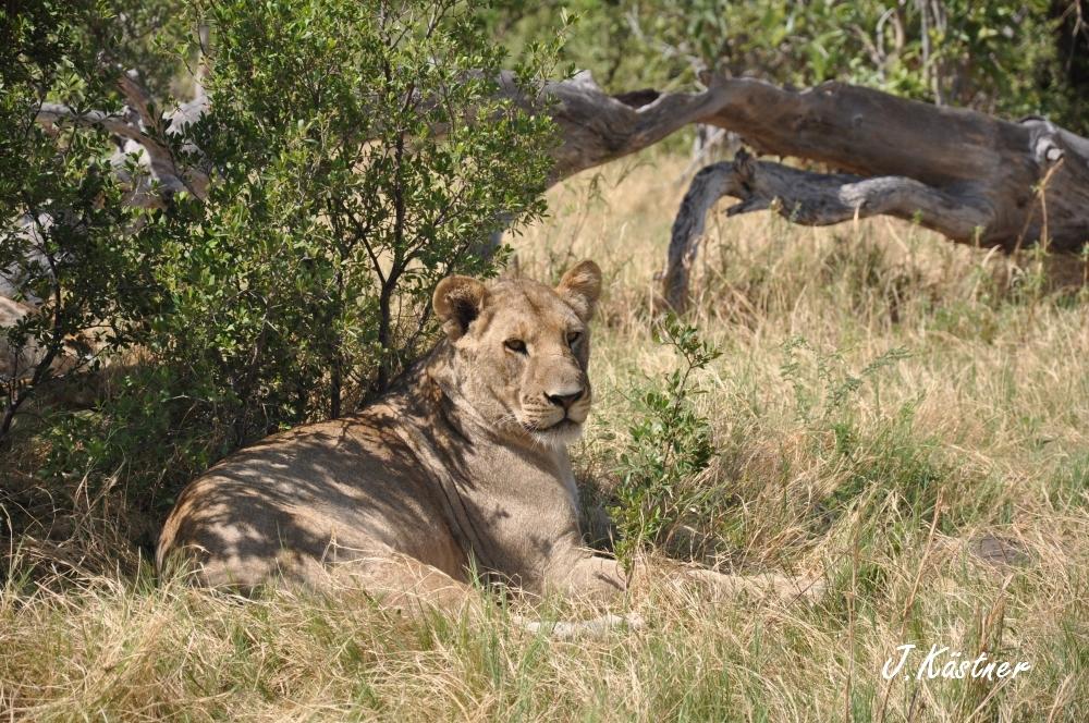 Botswana Treasures. sonne safari botswana afrika  tui berlin Botswana Linyanti Duma Tau Camp Loewe