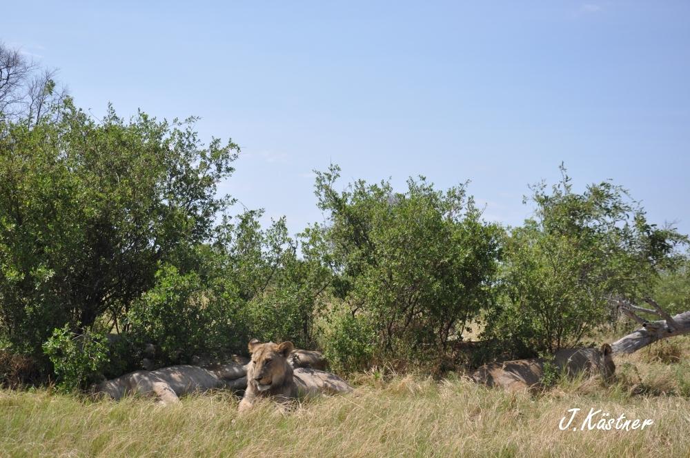 Botswana Treasures. sonne safari botswana afrika  tui berlin Botswana Linyanti Duma Tau Camp Loewen