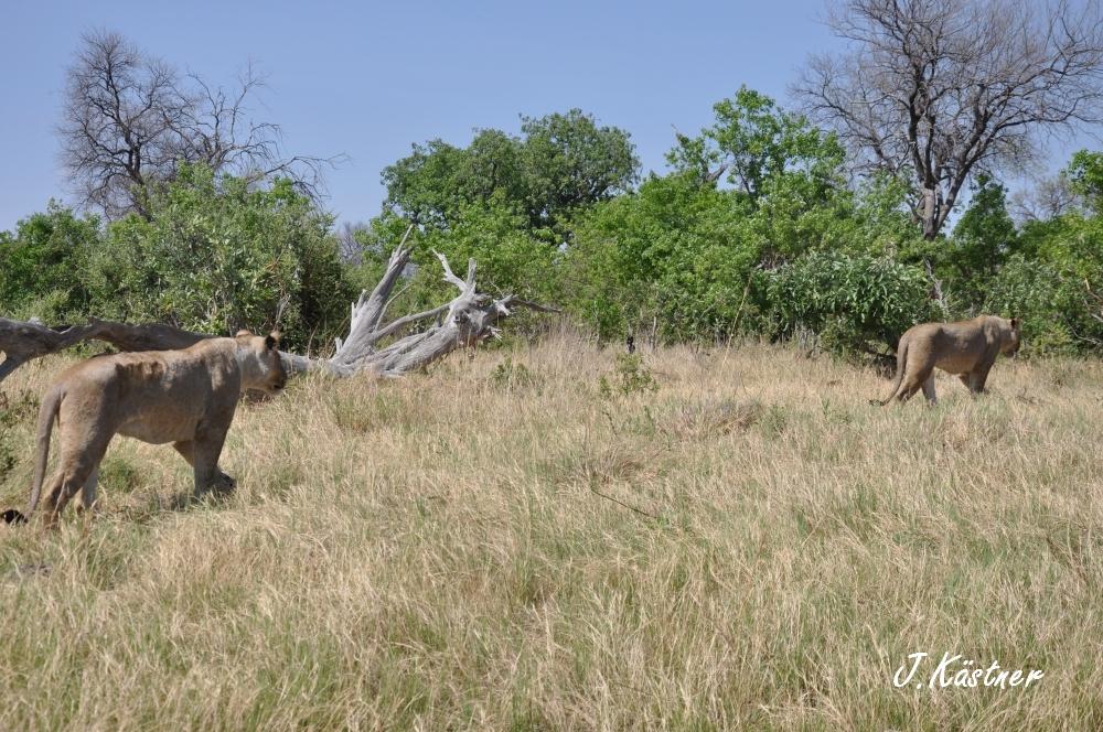 Botswana Treasures. sonne safari botswana afrika  tui berlin Botswana Linyanti Duma Tau Camp Pirsch