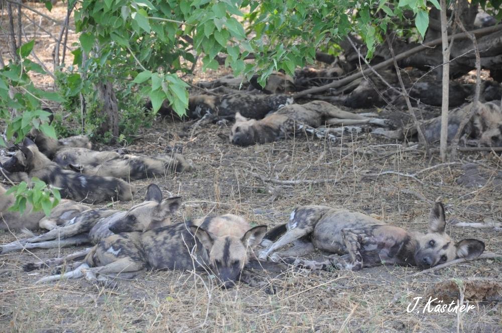 Botswana Treasures. sonne safari botswana afrika  tui berlin Botswana Linyanti Duma Tau Camp Wildhunde