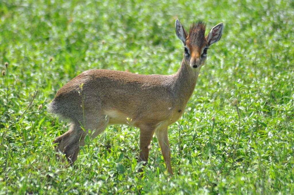 Hunderttausend Gnus und wir. Begegnungen in Tansania. tansania safari afrika  tui berlin Tansania Antilope