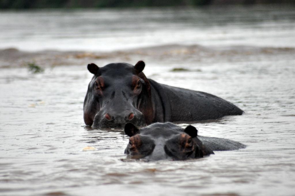 Hunderttausend Gnus und wir. Begegnungen in Tansania. tansania safari afrika  tui berlin Tansania Hippos Selous