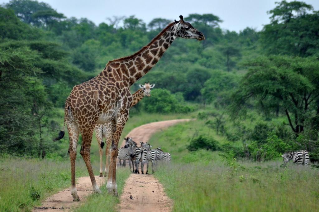 Hunderttausend Gnus und wir. Begegnungen in Tansania. tansania safari afrika  tui berlin Tansania Ruaha Giraffe