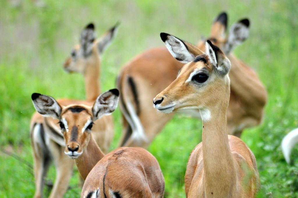 Hunderttausend Gnus und wir. Begegnungen in Tansania. tansania safari afrika  tui berlin Tansania Ruaha Impalas