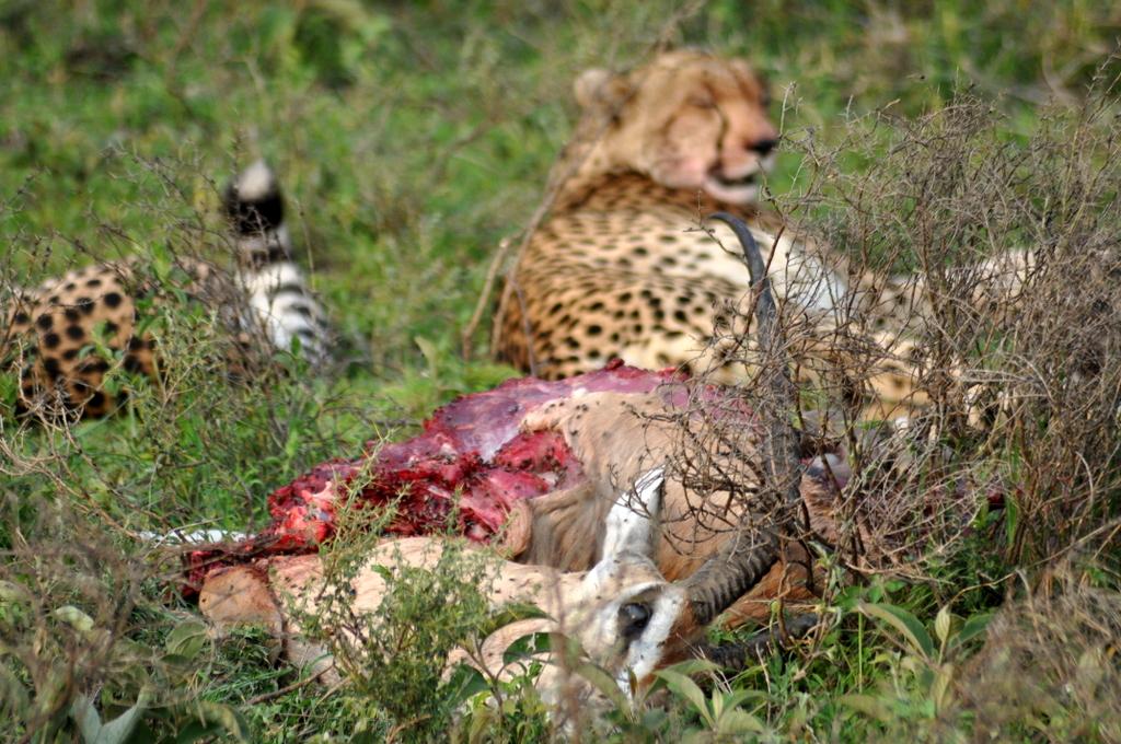 Hunderttausend Gnus und wir. Begegnungen in Tansania. tansania safari afrika  tui berlin Tansania Serengeti
