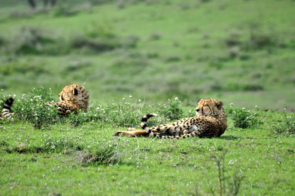 Hunderttausend Gnus und wir. Begegnungen in Tansania. tansania safari afrika  tui berlin Tansania Serengeti Geparden