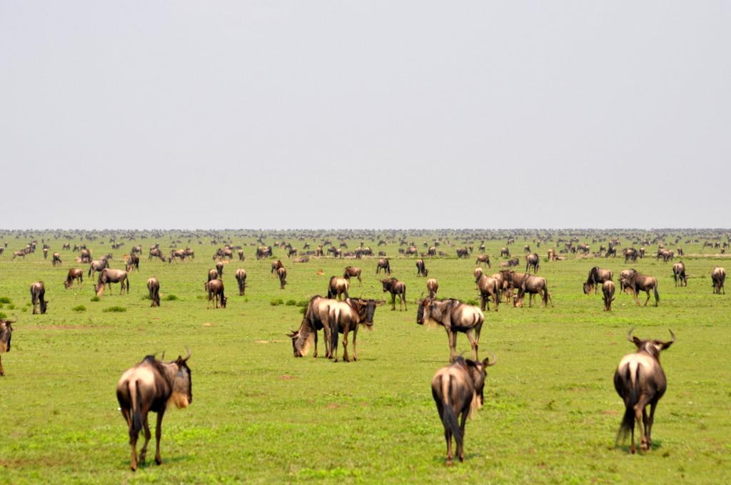 Hunderttausend Gnus und wir. Begegnungen in Tansania. tansania safari afrika  tui berlin Tansania Serengeti Gnu Migration