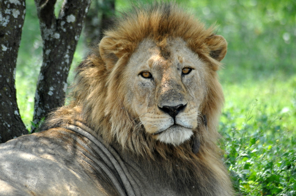 Hunderttausend Gnus und wir. Begegnungen in Tansania. tansania safari afrika  tui berlin Tansania Serengeti Loewe