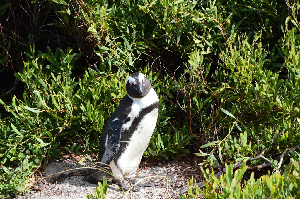 Südafrika im Juni: Pinguine, Wale und eine Blumensafari suedafrika sonne land und leute reisebericht afrika  tui berlin suedafrika simons town pinguin 1