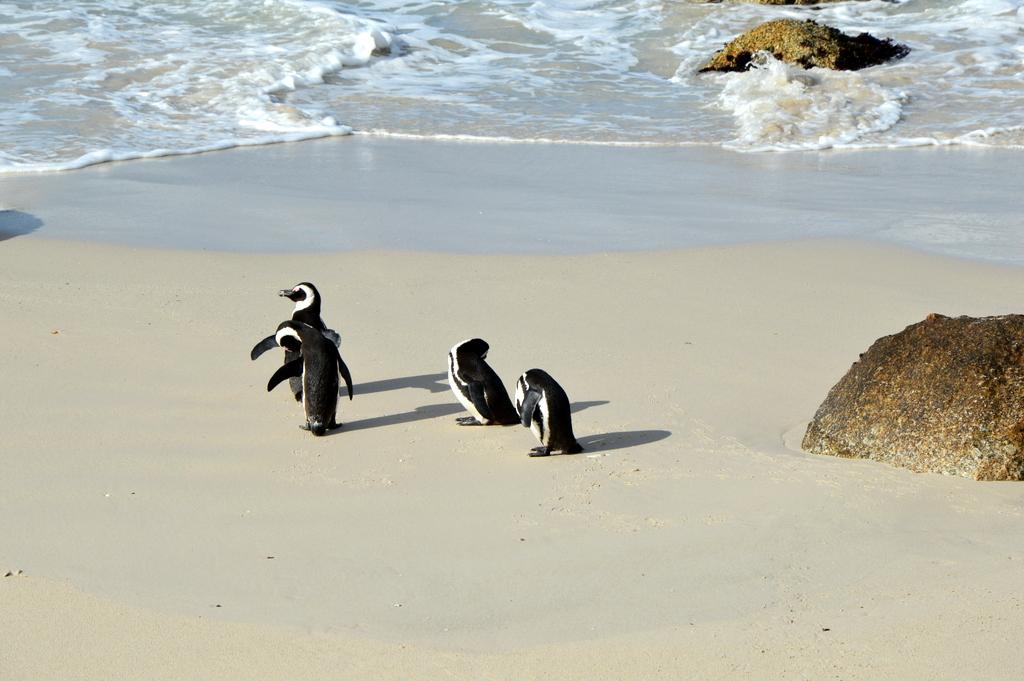 Südafrika im Juni: Pinguine, Wale und eine Blumensafari suedafrika sonne land und leute reisebericht afrika  tui berlin suedafrika simons town pinguine 1