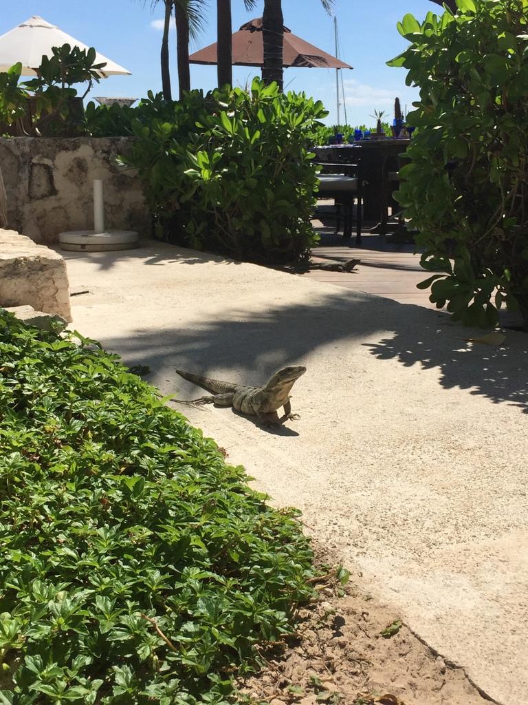 Kleine Mexiko Rundreise   Teil 3: Yucatan Halbinsel strand sonne mexiko laender karibik mittelamerika  tui belrin mexico yucatan leguan