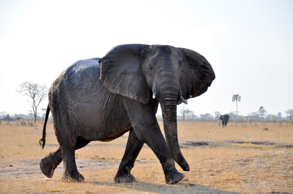 Simbabwe und Victoria Falls mit Wilderness Safaris sonne simbabwe safari land und leute afrika  tui berlin Hwange Nationalpark Elefantenbulle