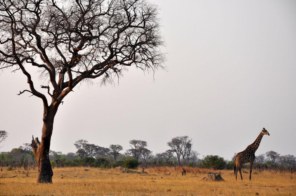 Simbabwe und Victoria Falls mit Wilderness Safaris sonne simbabwe safari land und leute afrika  tui berlin Hwange Nationalpark Giraffe