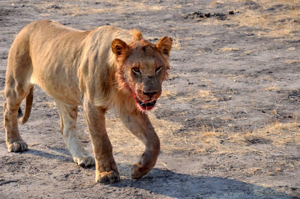 Simbabwe und Victoria Falls mit Wilderness Safaris sonne simbabwe safari land und leute afrika  tui berlin Loewe Hwange Nationalpark