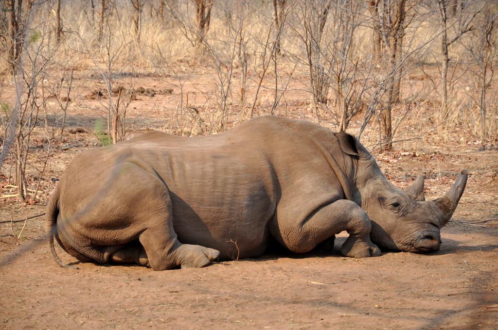 Simbabwe und Victoria Falls mit Wilderness Safaris sonne simbabwe safari land und leute afrika  tui berlin Mosi Oa Tunya Nationalpark Nashorn