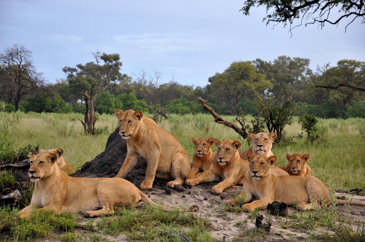 Botswana Safari und Victoriafälle: Unsere Afrika Rundreise sonne land und leute reisebericht botswana afrika  TUI Berlin Botswana Löwenfamilie Vumbura Plains