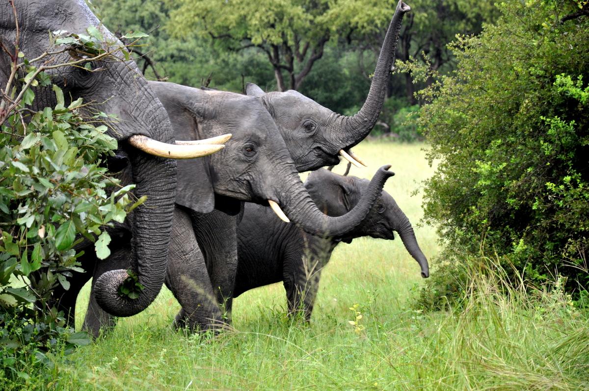 Botswana Safari und Victoriafälle: Unsere Afrika Rundreise sonne land und leute reisebericht botswana afrika  TUI Berlin Botswana Safari Elefantenfamilie 1