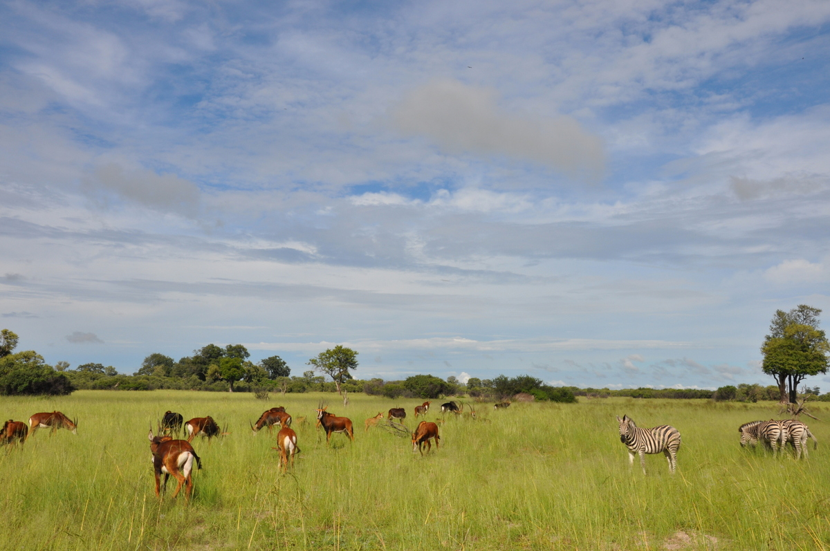 Botswana Safari und Victoriafälle: Unsere Afrika Rundreise sonne land und leute reisebericht botswana afrika  TUI Berlin Botswana Safari Impalaherde 2