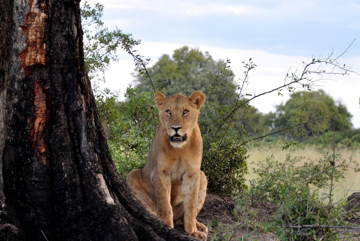 Botswana Safari und Victoriafälle: Unsere Afrika Rundreise sonne land und leute reisebericht botswana afrika  TUI Berlin Botswana Safari Löwe Vumbura 1 1