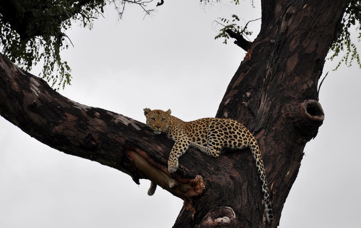 Botswana Safari und Victoriafälle: Unsere Afrika Rundreise sonne land und leute reisebericht botswana afrika  TUI Berlin Botswana Safari Leopard auf Baum