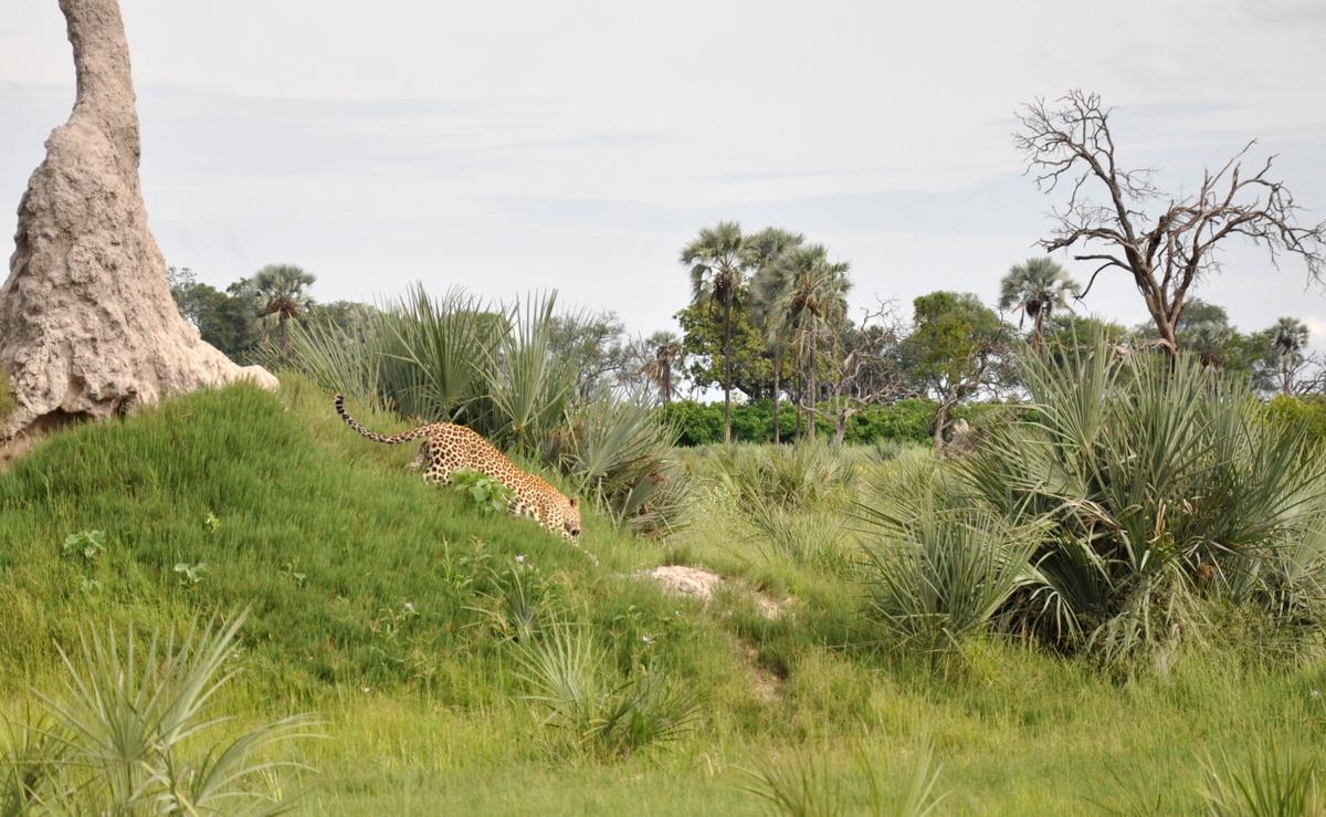 Botswana Safari und Victoriafälle: Unsere Afrika Rundreise sonne land und leute reisebericht botswana afrika  TUI Berlin Botswana Safari Leopard