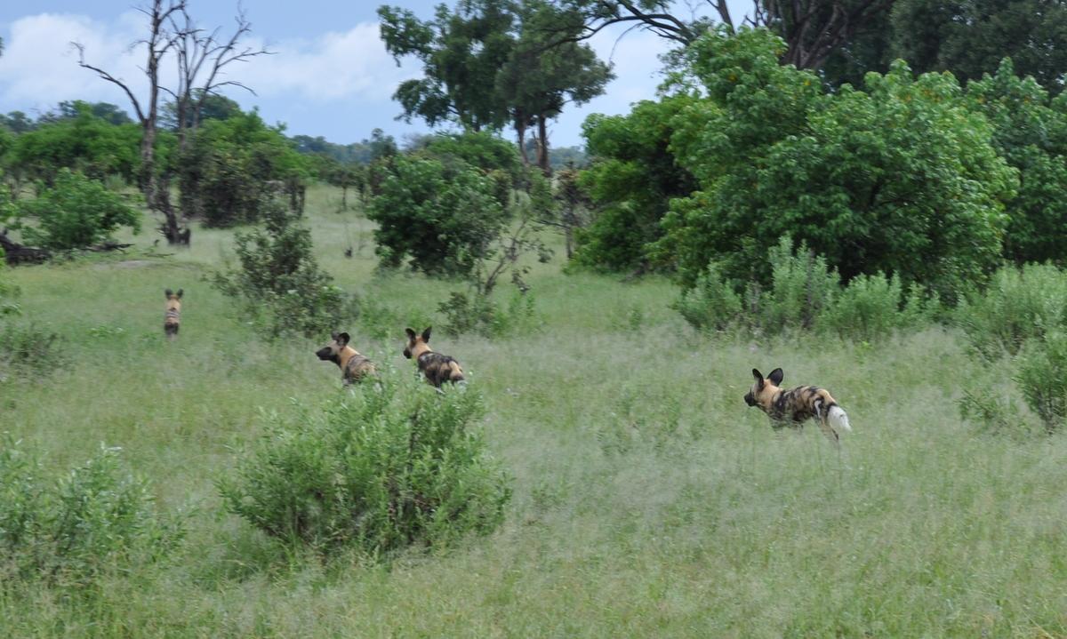 Botswana Safari und Victoriafälle: Unsere Afrika Rundreise sonne land und leute reisebericht botswana afrika  TUI Berlin Safari Okavangodelta Wildhunde