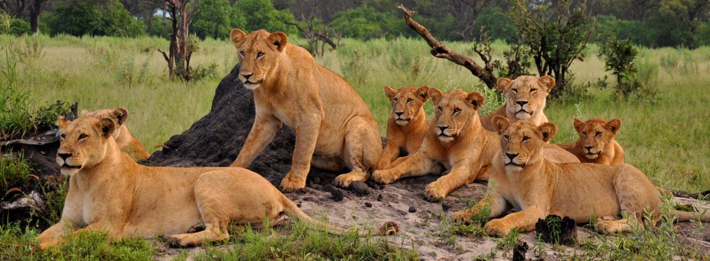TUI, Berlin, Afrika, Safari, Botswana, Löwen, Reisebüro