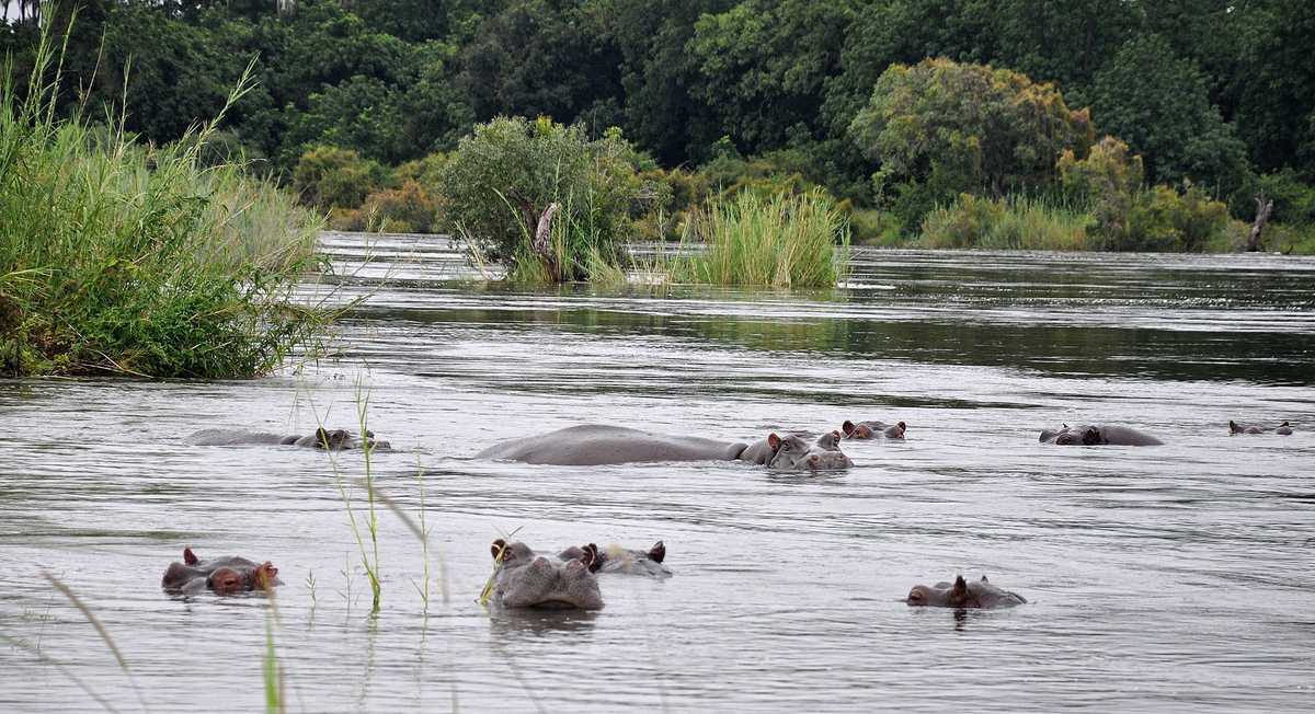 Botswana Safari und Victoriafälle: Unsere Afrika Rundreise sonne land und leute reisebericht botswana afrika  TUI Berlin Sambesi Hippos