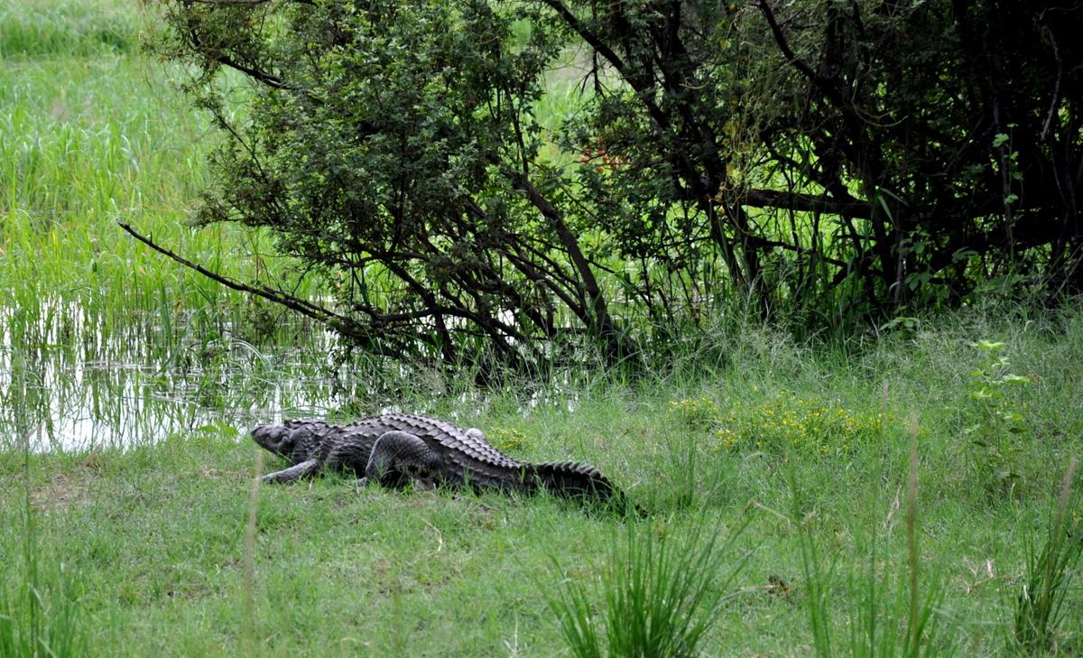 Botswana Safari und Victoriafälle: Unsere Afrika Rundreise sonne land und leute reisebericht botswana afrika  TUI Berlin Simbabwe Sambesi Krokodil