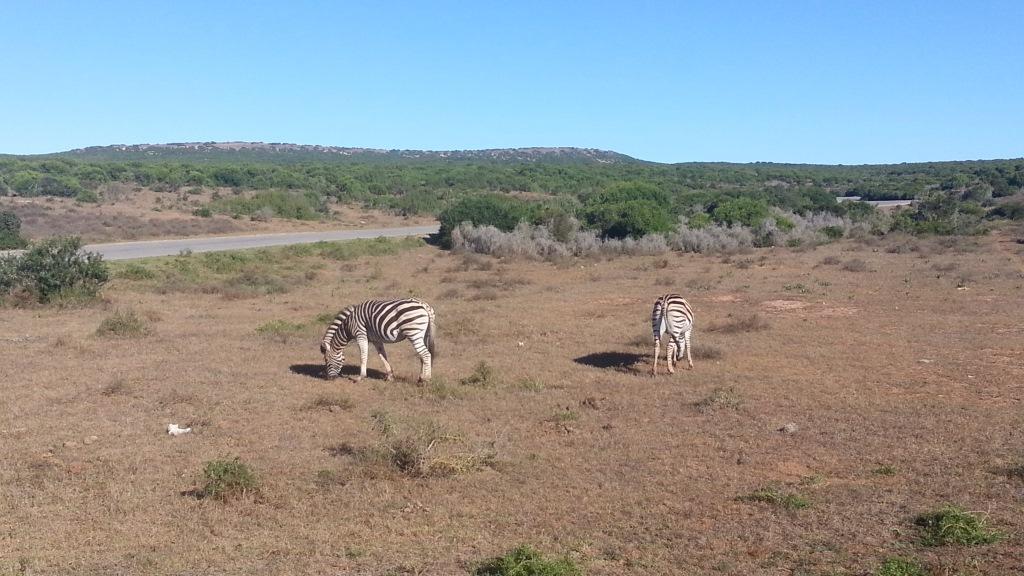 Südafrika entdecken – Teil 2: Von Port Elizabeth zum Addo Park uncategorized suedafrika sonne safari land und leute  tui berlin südafrika addo elephant park zebras