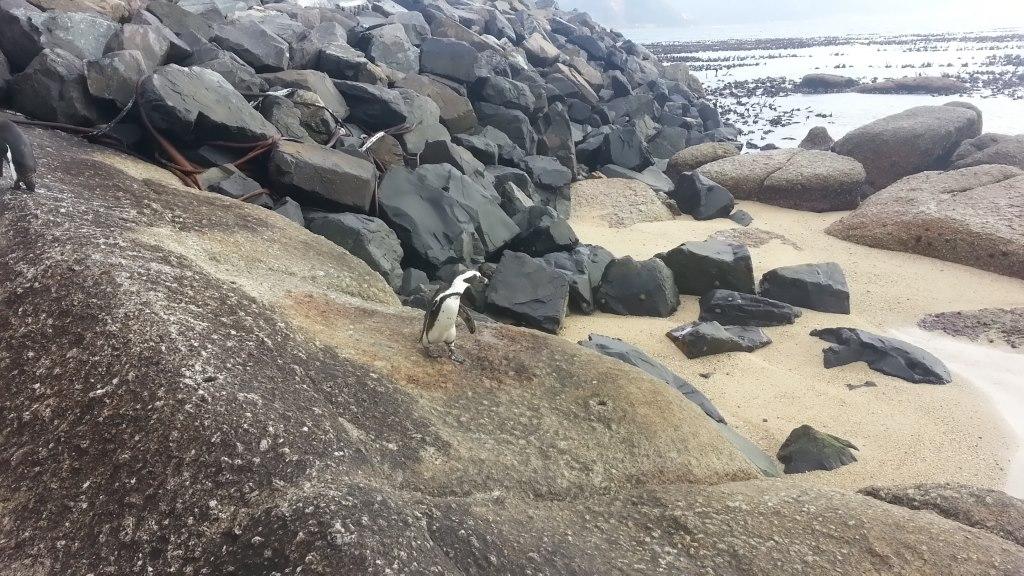Südafrika entdecken: Kapstadt und die Kaphalbinsel suedafrika sonne safari land und leute reisebericht  tui berlin südafrika kapstadt boulders beach