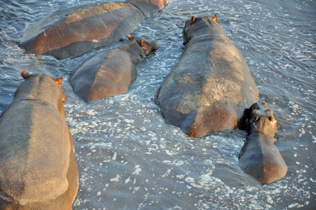 TUI, Berlin, Heissluftballon Sambia, Safari, Reisebüro, Beratung, Kafue Nationalpark, Wilderness,Tierbeobachtung, Buscherlebnis, Camp, Nilpferd, Elefant