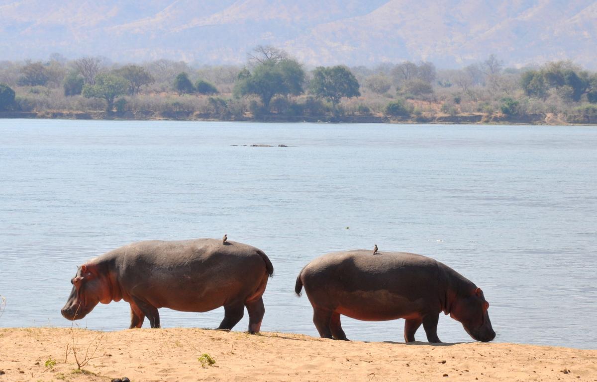 Zwischen Sambia und Simbabwe   mit dem Kanu unterwegs auf dem Sambesi sonne simbabwe safari reisebericht afrika  TUI Berlin Reisebüro Paddeltour Sambesi Hippos zu zweit