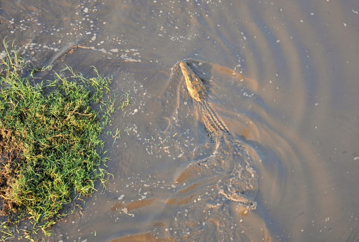 tui_berlin-afrika-sambia-kafue-krokodil
