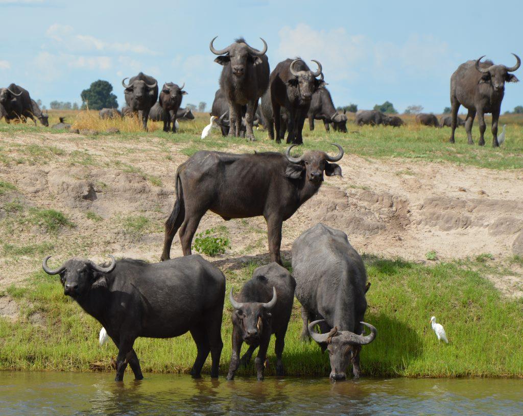 Auf dem Zambezi zwischen Namibia und Botswana reisebericht new namibia botswana afrika  tui berlin chobe princess sambesi queen bueffel